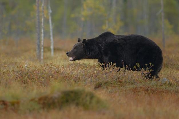 Urso-pardo no habitat natural da finlândia