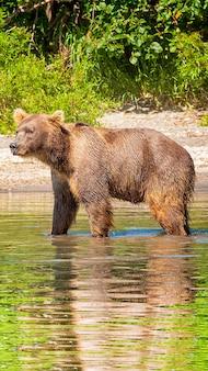 Urso-pardo no lago no verão