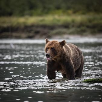 Urso pardo no rio