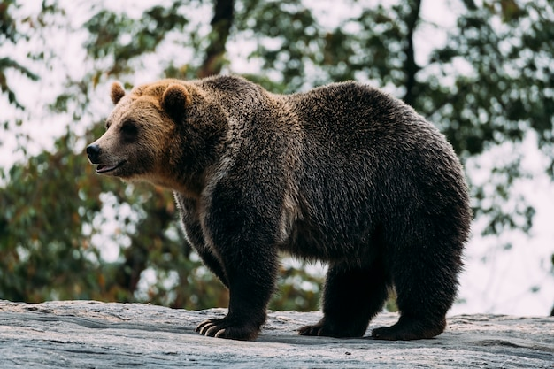 Urso pardo no zoológico do bronx. nova york