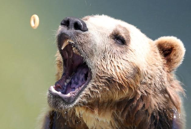 Urso pardo pegando um bagel