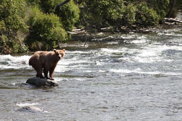 Urso pardo pegando um peixe no rio no alasca