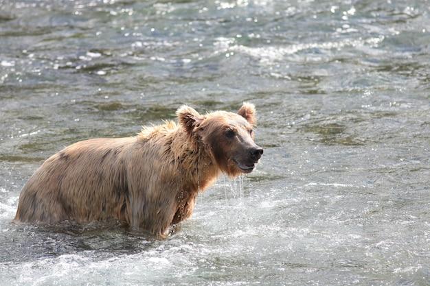 Urso-pardo pegando um peixe no rio no alasca
