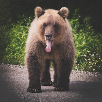 Urso-pardo selvagem em pé com a língua para fora da boca tonificado com marrom retrô vintage