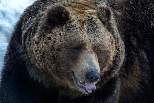 Urso pardo sentado na neve branca