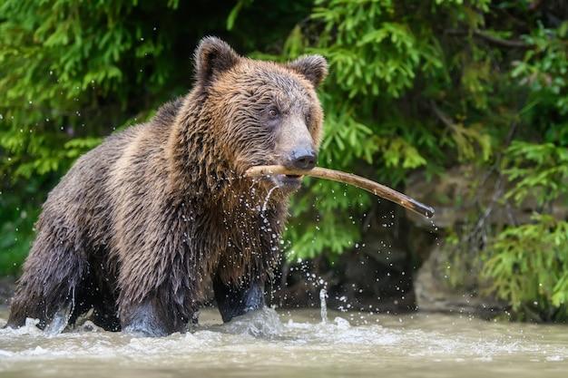 Urso-pardo (ursus arctos) adulto selvagem brincando com uma vara em um lago da floresta