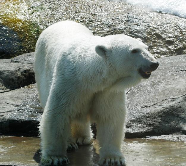 Urso polar branco no zoológico