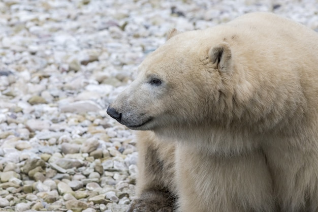 Urso polar em seu habitat natural