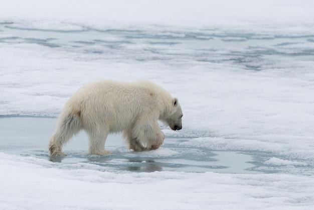 Urso polar indo no gelo ao norte da ilha spitsbergen