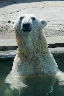 Urso polar no zoológico, horário de verão