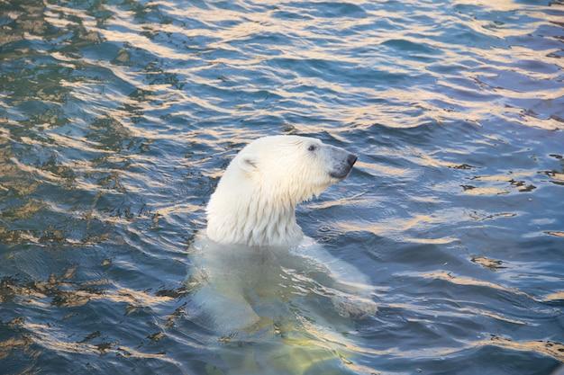 Urso polar no zoológico na água