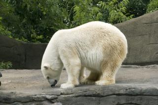 Urso polar, polarbear