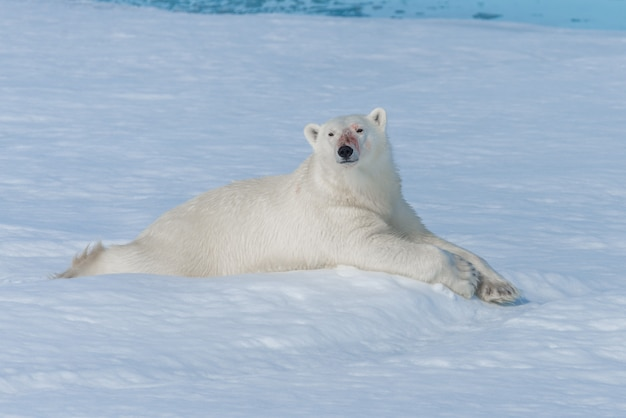 Urso polar selvagem deitado no gelo ao norte da ilha de spitsbergen, svalbard