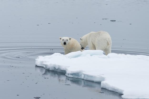Urso polar selvagem e filhotes nadando entre o gelo no gelo