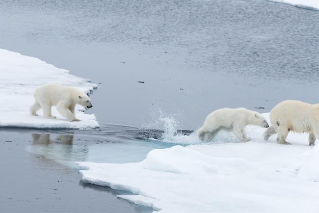 Urso polar selvagem e filhotes pulando através do gelo no gelo