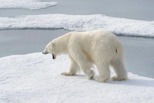 Urso polar selvagem em bloco de gelo no ártico