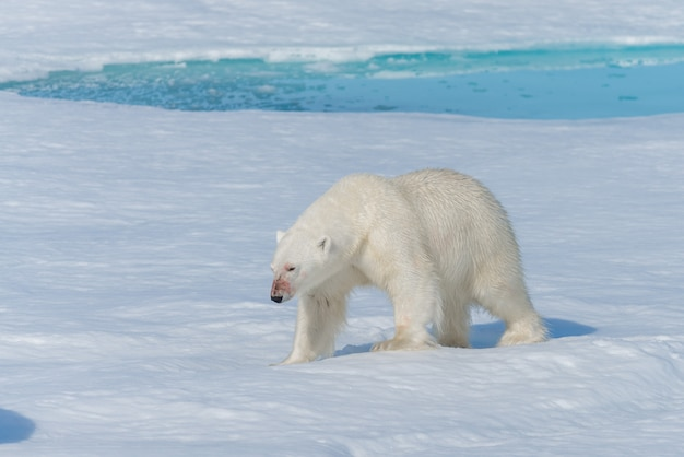 Urso polar selvagem (ursus maritimus) indo no gelo ao norte da ilha spitsbergen, svalbard