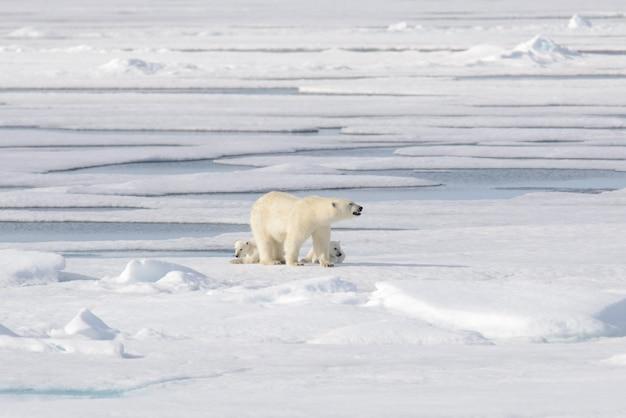 Urso polar selvagem ursus maritimus mãe e filhote no gelo
