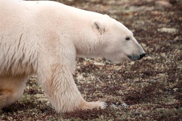 Urso polar, (ursus, maritimus), churchill, manitoba, canadá