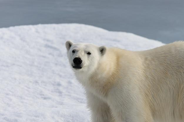 Urso polar (ursus maritimus) no gelo ao norte da ilha spitsbergen, svalbard, noruega, escandinávia, europa