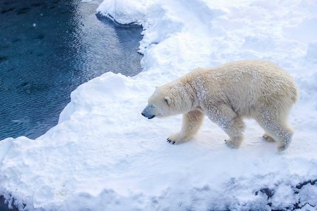 Urso polar (ursus maritimus)