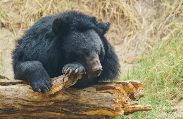 Urso preto asiático