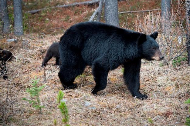Urso preto, (ursus, americanus), com, seu, filhotes, em, um, floresta, jasper parque nacional, alberta, canadá