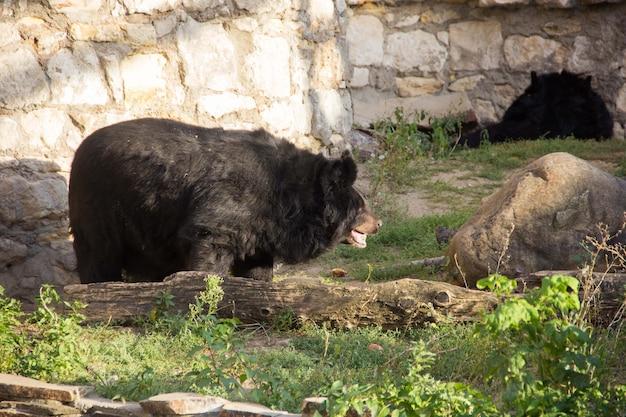 Urso ussuri brown ursus arctos lasiotus sentado e observando outro urso nas proximidades.