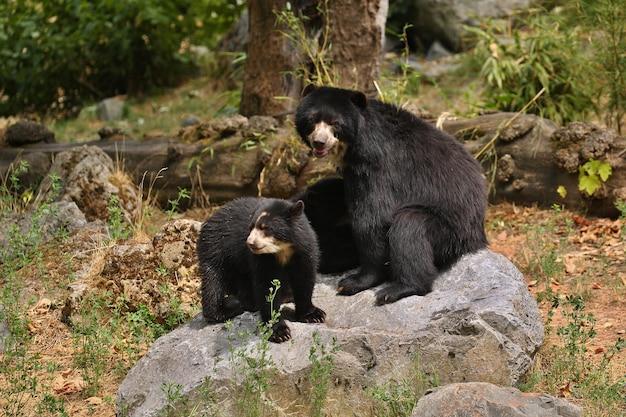 Ursos andinos ou de óculos tremarctos ornatus