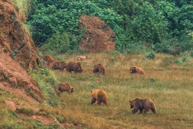 Ursos marrons em uma reserva natural