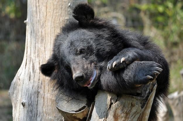 Ursos negros asiáticos são parentes próximos dos ursos negros americanos