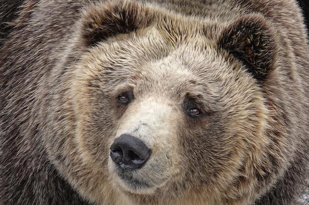 Ursos no parque do urso de noboribetsu dentro, hokkaido, japão.