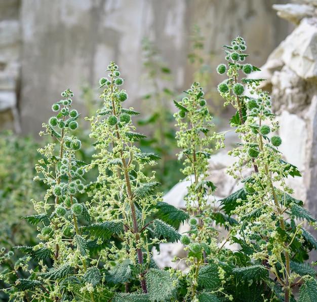 Urtica pilulifera em local abandonado com ruínas de pedra em foco seletivo de fundo