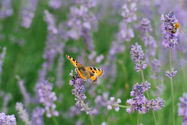 Urticária de borboleta senta-se em uma flor de lavanda em um campo