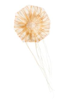 Urtiga japonesa, chrysaora pacifica, água-viva contra superfície branca