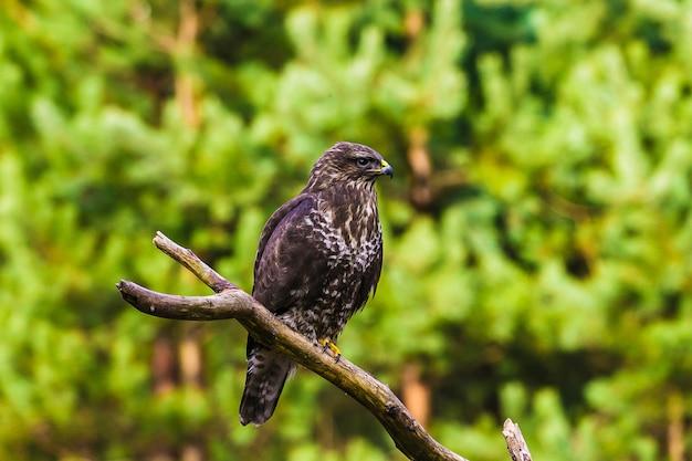 Urubu-comum (buteo buteo) em uma floresta