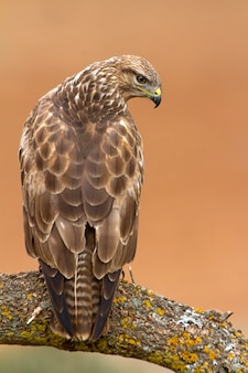 Urubu comum, falcão, raptor, urubu, pássaros, buteo buteo
