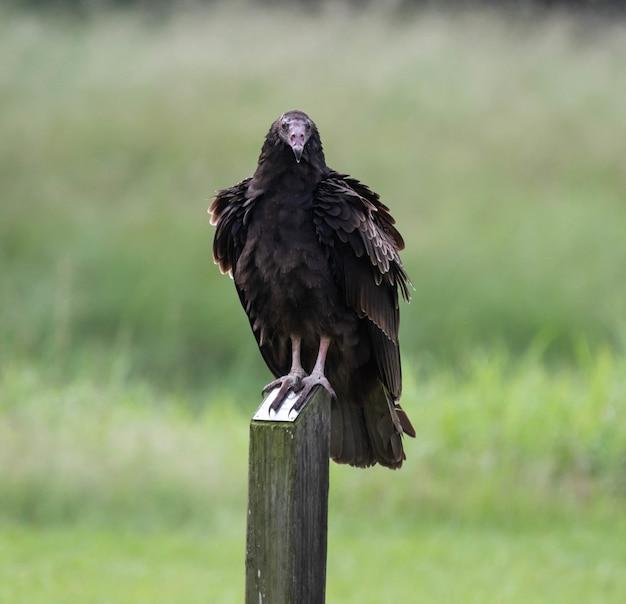 Urubu preto em pé sobre uma cerca de madeira, rodeada por vegetação