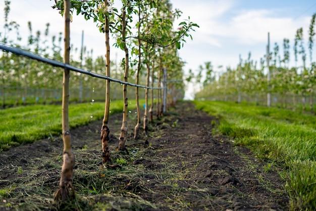 Usando irrigação por gotejamento em um jardim de macieira jovem