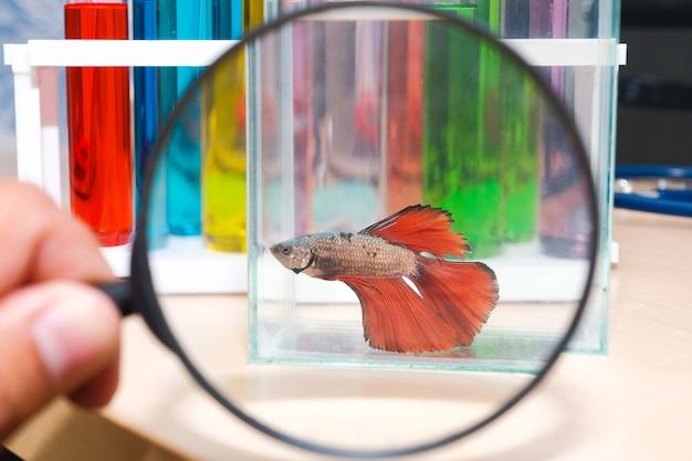Use uma lupa para ver o peixe mordida em um armário de vidro colocado sobre uma mesa de madeira
