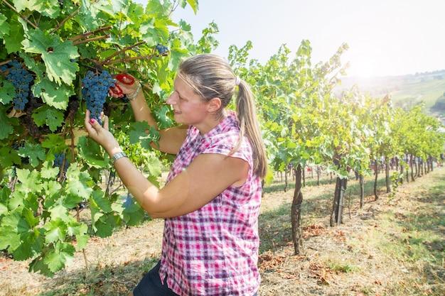 Uva de colheita de mulher durante a colheita de vinho