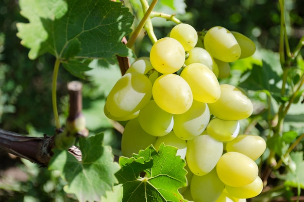 Uva de tipos brancos em uma vinha.