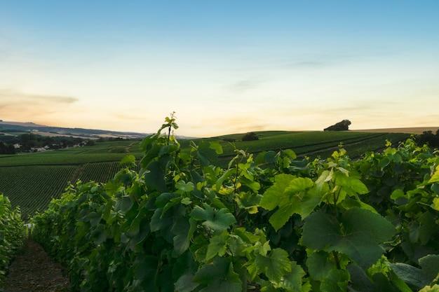 Uva de videira a remo em vinhedos de champanhe em montagne de reims, reims, frança