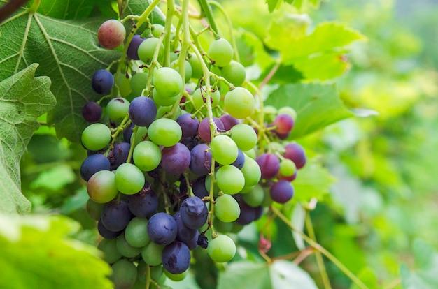 Uva de videira close-up na paisagem da vinha. crescimento de fruta suculenta doce