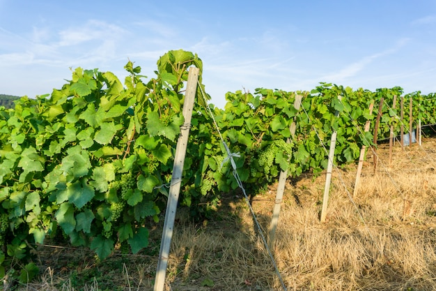 Uva de videira de linha em vinhas de champagne na aldeia rural de montagne de reims