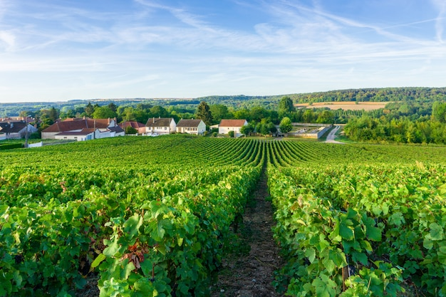 Uva de videira linha em vinhas de champagne em montagne de reims