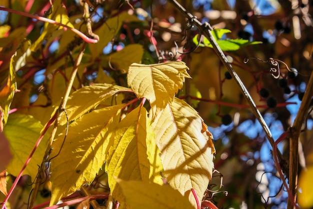 Uva selvagem em dia ensolarado de outono planta plano de fundo