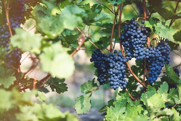 Uvas azuis maduras em vinhedo
