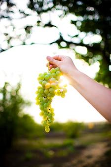 Uvas brancas em um ramo no sol.
