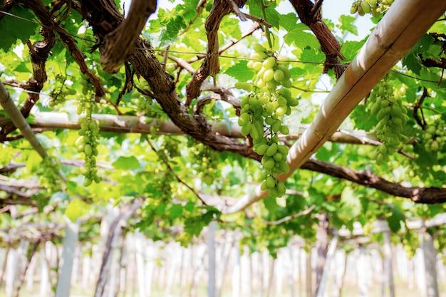 Uvas brancas na árvore no vinhedo.